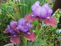 Standard Dwarf Bearded Iris Flirting Again (2002)