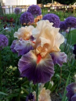 Tall Bearded Iris Undercurrent