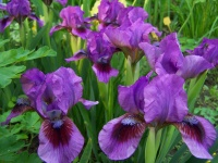 Standard Dwarf Bearded Iris Magic Dot (1976)