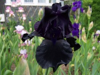 Tall Bearded Iris Hello Darkness (1992)