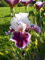 Tall Bearded Iris Ringo